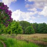 Flieder in voller Blüte am Kanal
