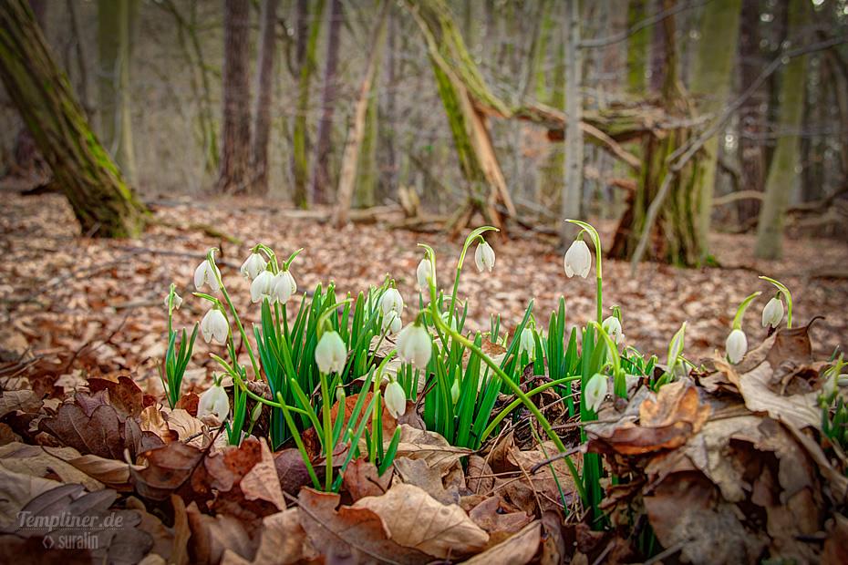 Schneeglöckchen im Templiner Wald