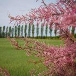 Kurmeile - Frühlingstamariske (tamarix parviflora)