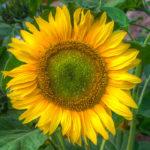 Sonnenblume an der Stadtmauer