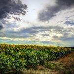 Sonnenblumenfeld am Neuplachter Weg in Templin