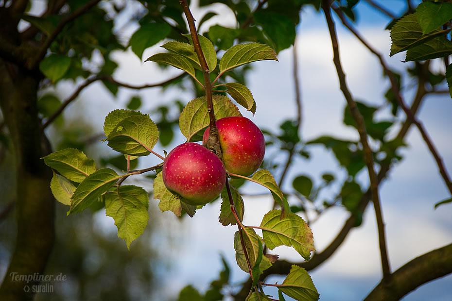 Einer der zahlreichen Apfelbäume an der Templiner Kurmeile