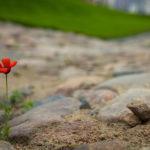 Kleine Mohnblume zwischen dem historischen Pflaster auf dem Kirchvorplatz