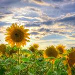 Sonnenblume im Sonnenblumenfeld an der Kurmeile