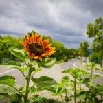 Sonnenblume auf der Prokopiusstraße