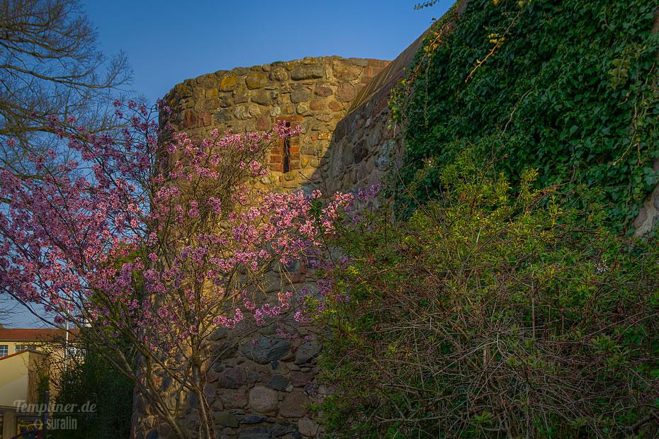 Blutpflaumen-Blüte an der Templiner Stadtmauer