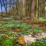 Waldboden mit Anemonen in der Templiner Buchheide