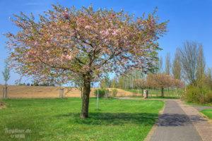 Kirschbäume in der Blüte an der Kurmeile