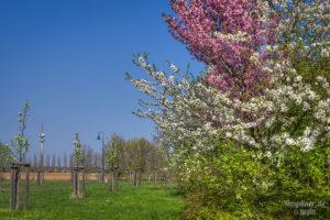 Kirschbaum mit zwei Farben an der Kurmeile