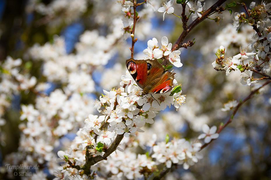 Tagpfauenauge auf der Kirschblüte