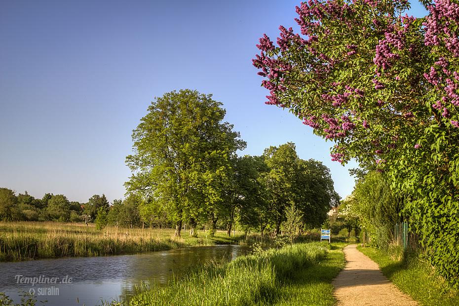 Flieder am Templiner Kanal im Mai
